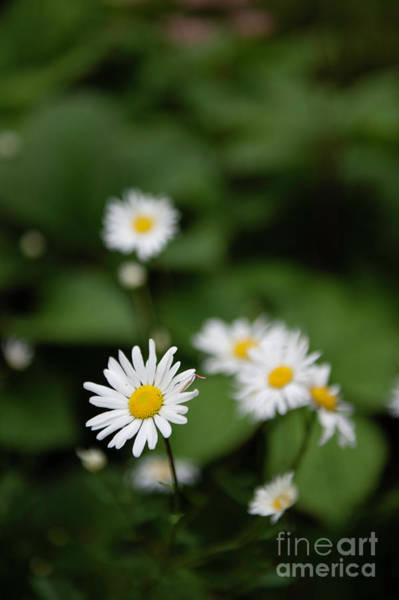 Photograph - Daisy Collection Photo 4 by Jenny Potter