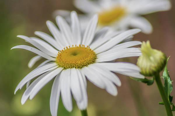 Photograph - Daisy-daisy by Ree Reid