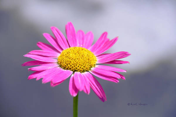 Photograph - Daisy Delight by Kae Cheatham