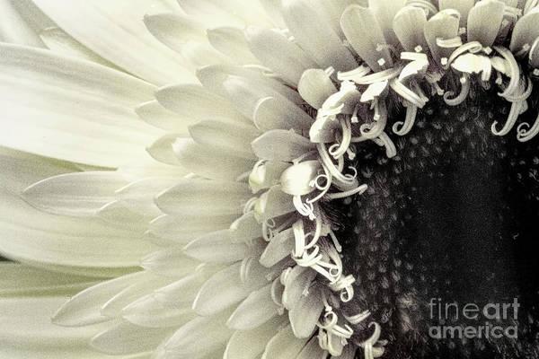 Photograph - Daisy Dream by Marilyn Cornwell