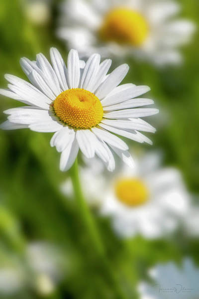 Photograph - Daisy Dreams By Tl Wilson Photography by Teresa Wilson