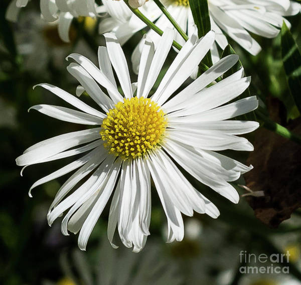Photograph - Daisy by Michael D Miller