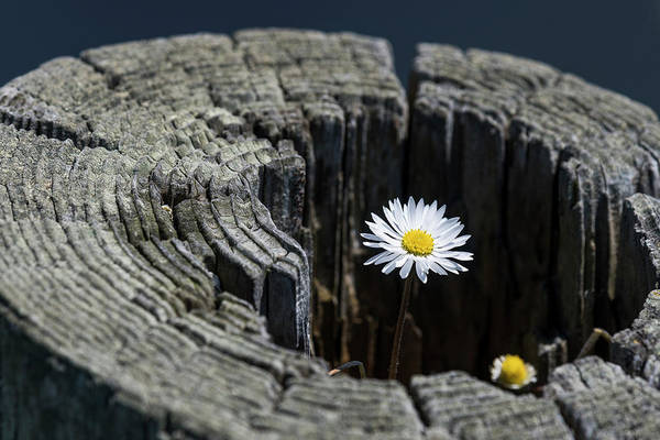 Photograph - Daisy On Fence Post by Robert Potts