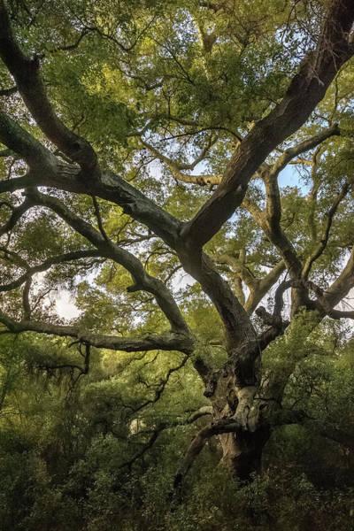 Photograph - Daley Ranch - Bobcat Trail Giant Oak by Alexander Kunz