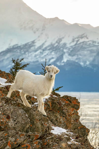 Wall Art - Photograph - Dall Sheep Lamb  Ovis Dalli  Looks by Doug Lindstrand
