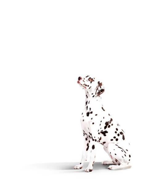 Dalmatian Dog Photograph - Dalmatian Dog by Mattoliverphoto