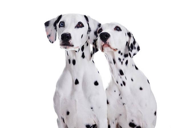 Dalmatian Dog Photograph - Dalmatian Dogs by Tetsuomorita