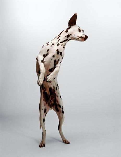 Dalmatian Dog Photograph - Dalmatian On Its Hind Legs, Looking by Jerry Young