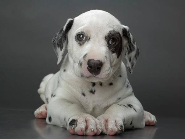 Dalmatian Dog Photograph - Dalmatian Puppy Lying Down, Head by Coneyl Jay