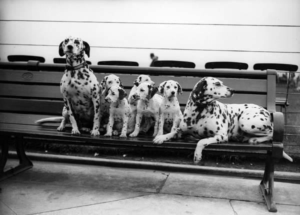 Dalmatian Dog Photograph - Dalmatian Pups by Fox Photos