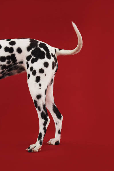 Dalmatian Dog Photograph - Dalmatian Rear by Moodboard