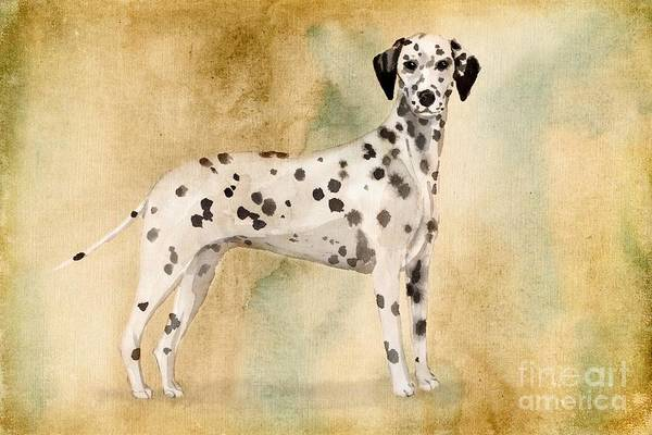 Pedigree Painting - Dalmation by John Edwards