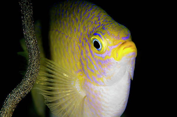 Underwater Camera Photograph - Damsel Fish With Eggs by Rand Mcmeins