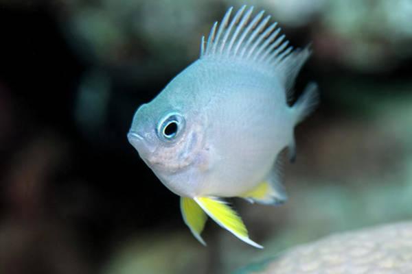 Underwater Camera Photograph - Damselfish by Lea Lee