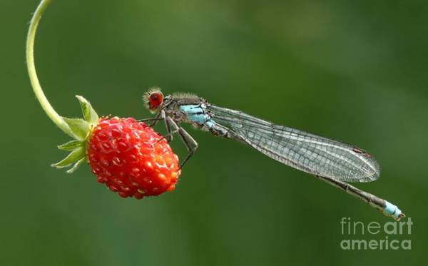 Wall Art - Photograph - Damselfly On Strawberry by Miroslav Hlavko