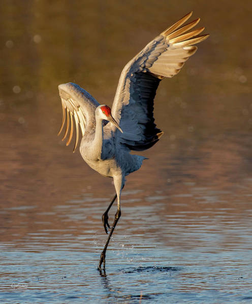 Photograph - Dance Of The Sandhill Crane by Judi Dressler