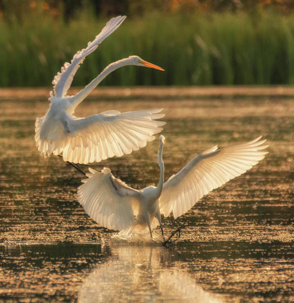 Photograph - Dancing Egrets  by Richard Kopchock