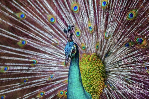 Dancing Indian Peacock  Art Print
