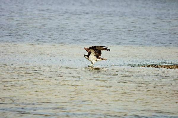 Photograph - Dancing On The Sandbar by Michiale Schneider