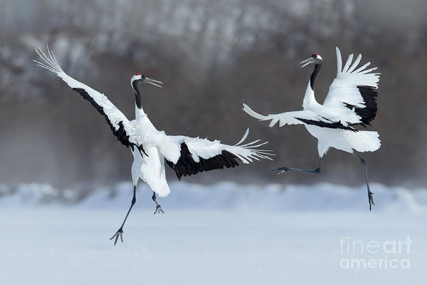 Wall Art - Photograph - Dancing Pair Of Red-crowned Cranes With by Ondrej Prosicky