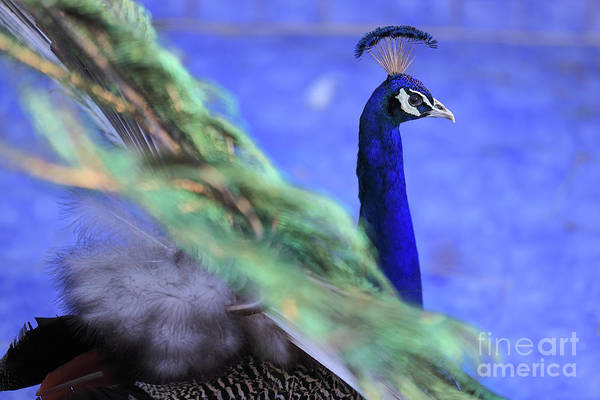 Photograph - Dancing Peacock by Awais Yaqub