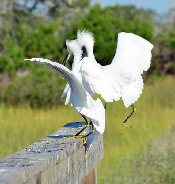 Photograph - Dancing Snowy Egrets by Bruce Gourley