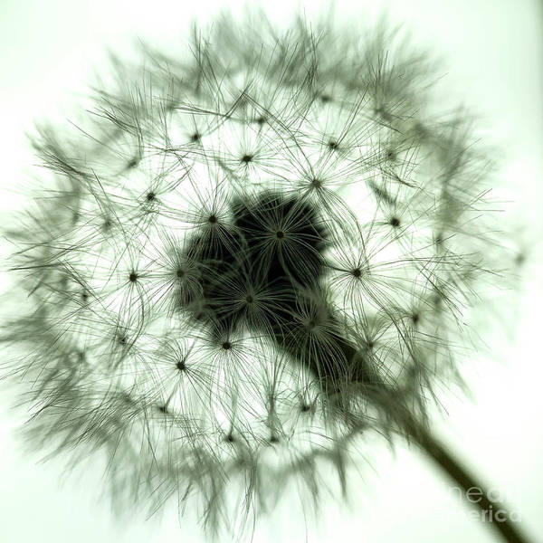 Wall Art - Photograph - Dandelion 1 by Elena Nosyreva