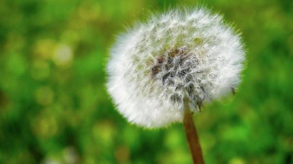 Photograph - Dandelion by Bryan Smith