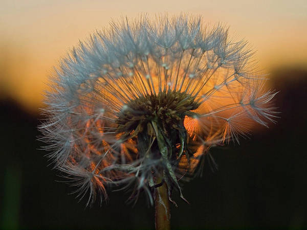 Galloway Wall Art - Photograph - Dandelion Clock by Gregdouglas