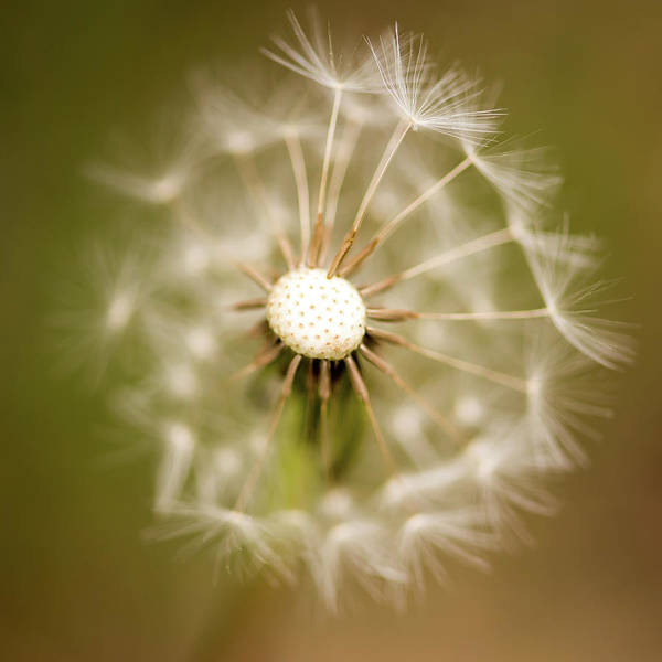 Photograph - Dandelion Days Square by Terry DeLuco