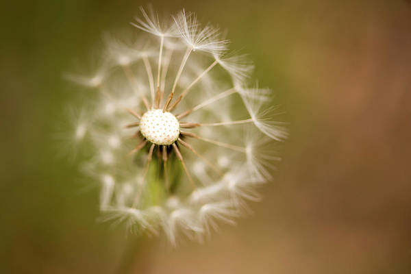Photograph - Dandelion Days by Terry DeLuco