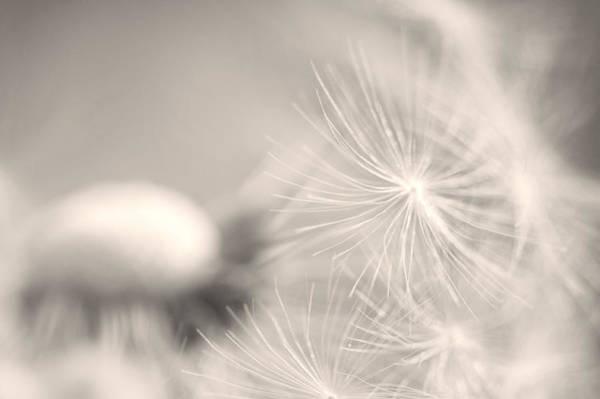 Ceca Wall Art - Photograph - Dandelion Flower by Ceca Photography