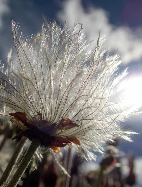 Photograph - Old Man's Whiskers, Geum Triflorum by Karen Rispin