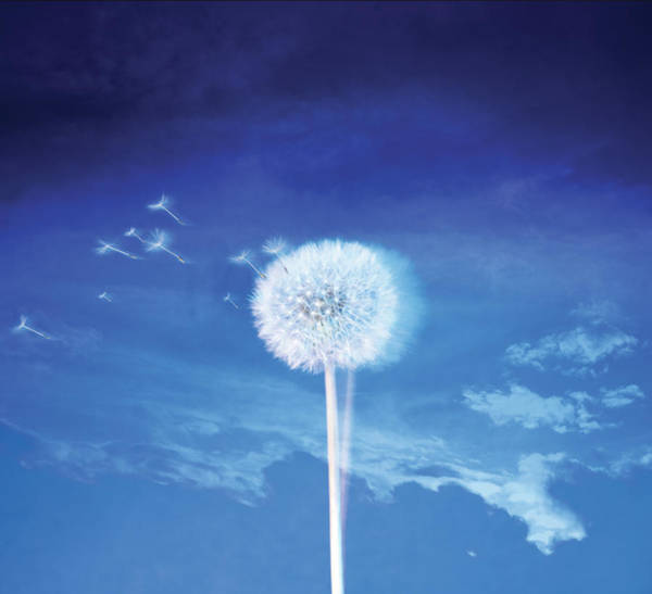 Sex Object Photograph - Dandelion In The Wind by Zap Art