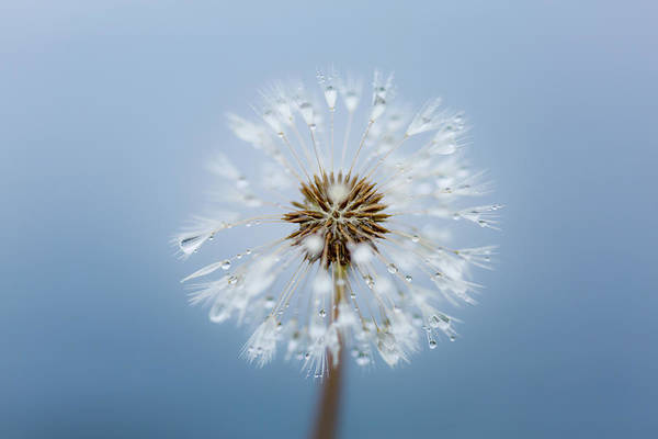 Wall Art - Photograph - Dandelion, Raindrops And The Deep Blue Sea by Anita Nicholson