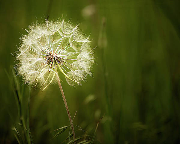 Photograph - Dandelion by Reynaldo Williams