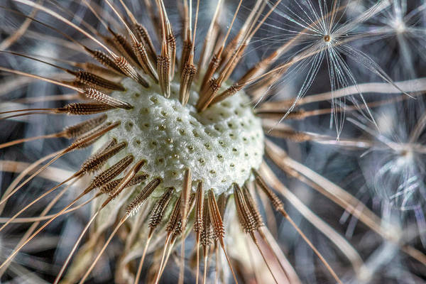 Wall Art - Photograph - Dandelion Seed Head by Tom Mc Nemar