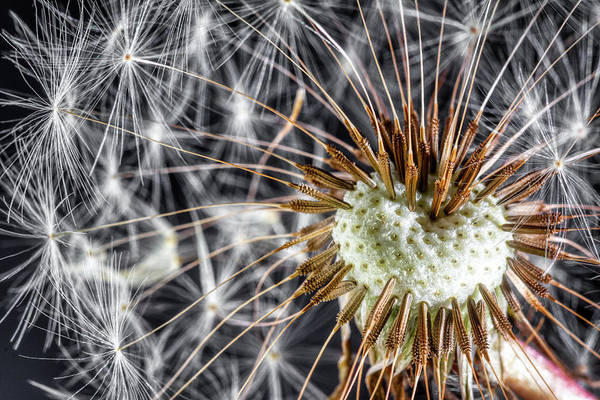 Flower Head Photograph - Dandelion Seed Pod by Tom Mc Nemar