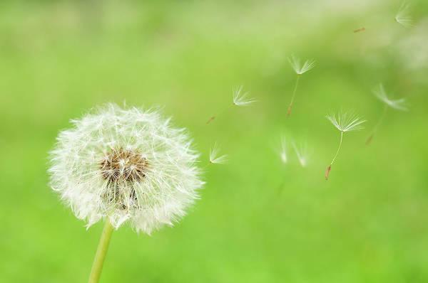 June Photograph - Dandelion Seeds by Hiroyuki Takeno/a.collectionrf