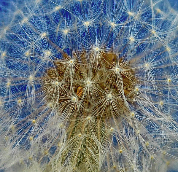 Wall Art - Photograph - Dandelion Seeds In Blue by Linda Eszenyi
