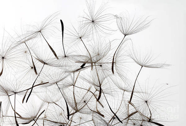 Dandelion Seeds Over White Background Art Print