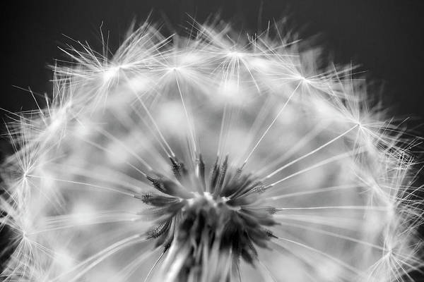 Wall Art - Photograph - Dandelion Seeds Pod Macro by Adam Romanowicz