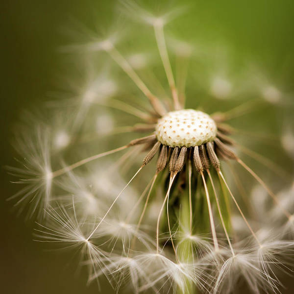 Photograph - Dandelion Seeds Square by Terry DeLuco