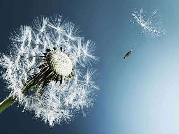 Blue Background Photograph - Dandelion Spore On Blue Background by Phil Ashley