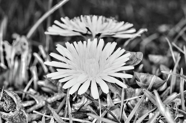 Wall Art - Photograph - Dandelion Up Close And Personal Black And White by Paul Ward