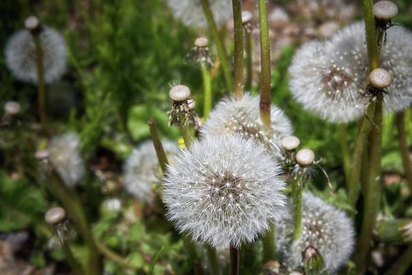 Photograph - Dandelion Wishes by Belinda Greb