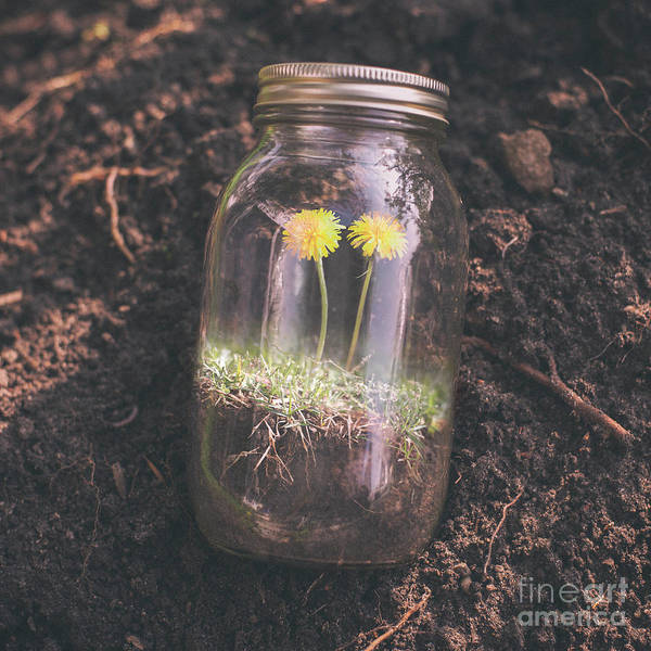 Jar Photograph - Dandelions Growing In Jar by Jeffrey Paul Mateus