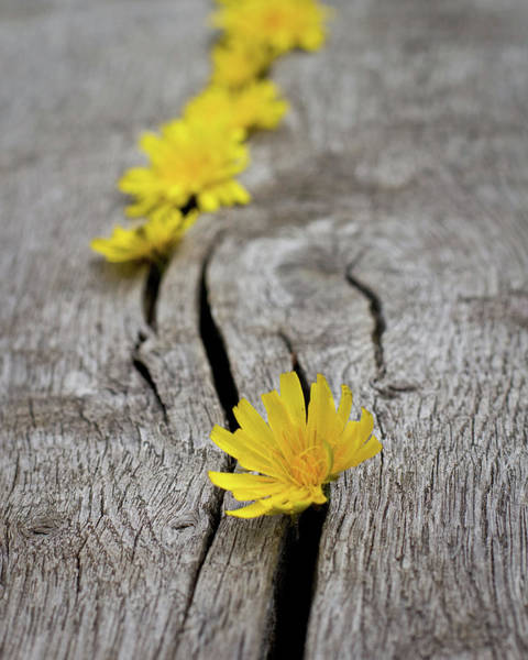 Cracked Photograph - Dandelions On Bench by Svgiles
