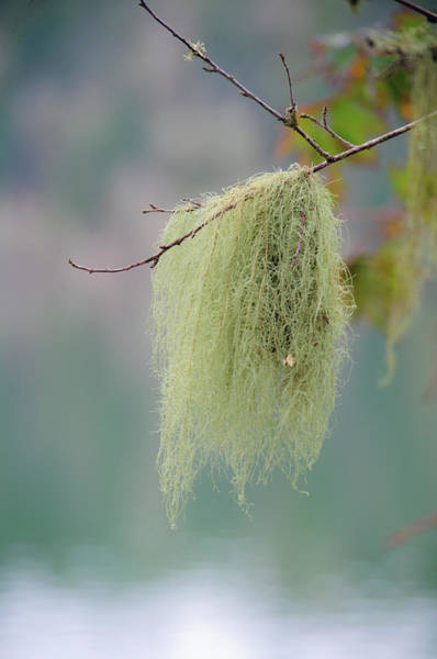 Photograph - Dangling Tree Moss by Tikvah's Hope