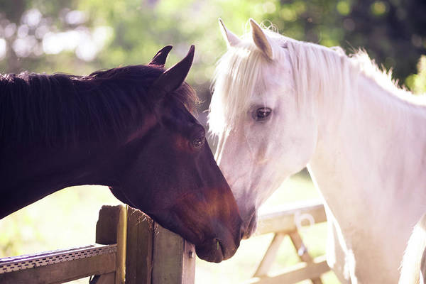 Wall Art - Photograph - Dark Bay And Gray Horse Sniffing Each by Sasha Bell